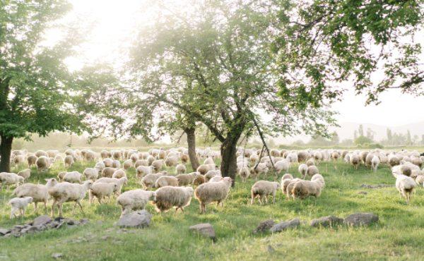 240 ganaderos cántabros se repartirán 75.000 euros en ayudas al ovino y caprino