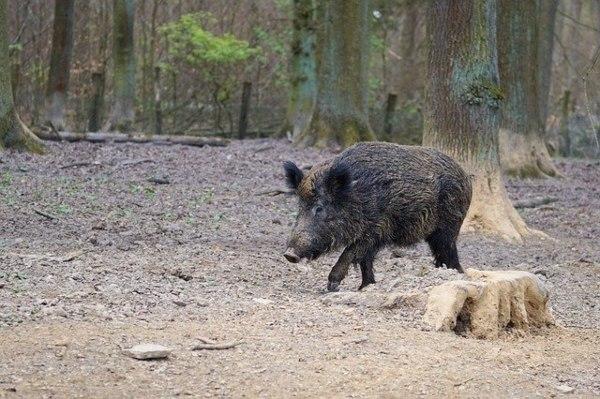 Los ganaderos urgen al ministro de Agricultura un presupuesto específico para prevenir la peste porcina