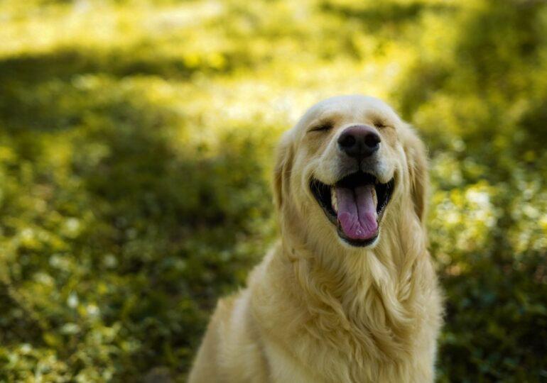 Un perro se traga el anillo de compromiso de su dueña