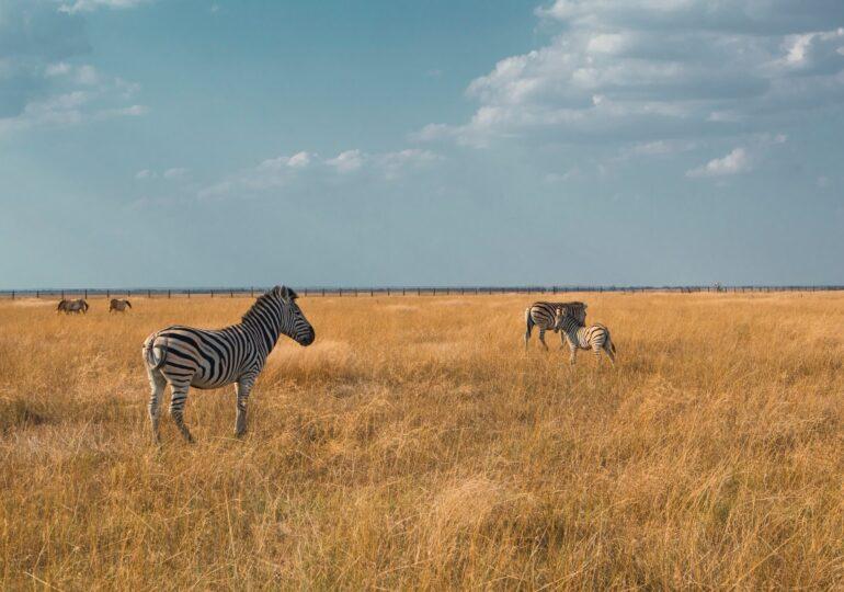 Descubren que las rayas de los animales indican al grupo en qué dirección huir